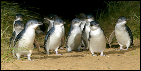 phillip_island_penguins-copy.jpg